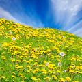 Rolling dandelion meadow - PhotoDune Item for Sale