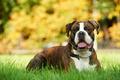 one german tiger boxer dog - PhotoDune Item for Sale