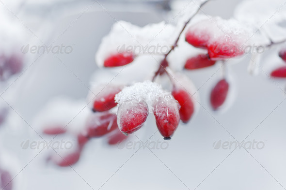 Barberries covered with ice and snow - Stock Photo - Images
