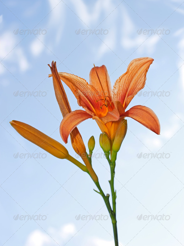 Lily flower - Stock Photo - Images