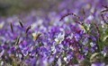 Purple Flower Bed - PhotoDune Item for Sale