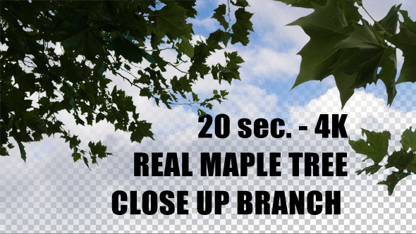 Real Maple Tree Closeup Branch with alpha channel
