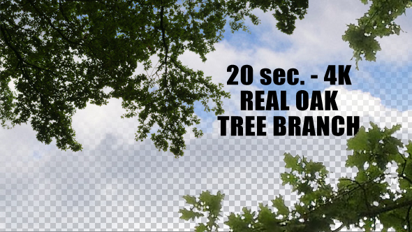 Real Oak Tree Branch with Alpha Channel