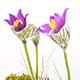 Spring Flowers Pulsatilla Vulgaris