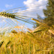 Alaska Wheat Field on a Summer Day - PhotoDune Item for Sale