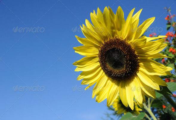 Beautiful Sunflower against a Blue Sky - Stock Photo - Images