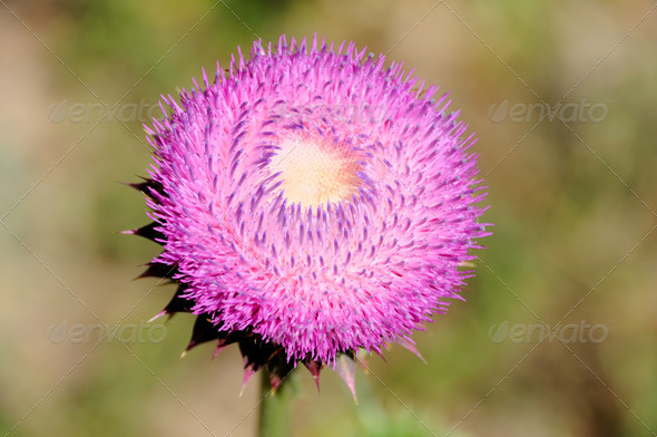 Flowering Invasive Thistle Plant in Utah - Stock Photo - Images