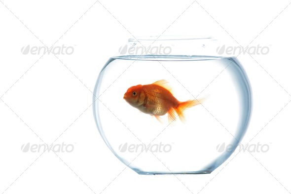Gold fish in aquarium - Stock Photo - Images