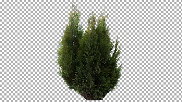 Real Coniferous Plant Isolated 4 Medium Wind