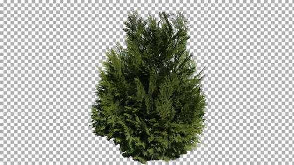 Real Coniferous Plant Isolated 1