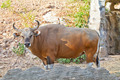 Banteng or Red Bull - PhotoDune Item for Sale