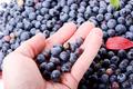 Holding blueberries
