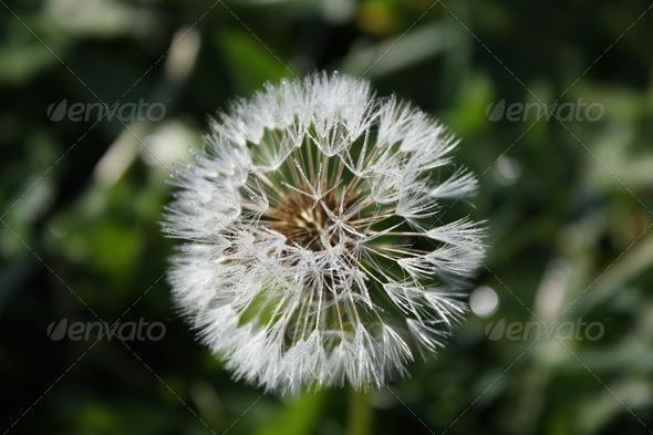 A Dandelion flower - Stock Photo - Images