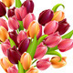 Big Bunch of Realistic Tulips Isolated - GraphicRiver Item for Sale