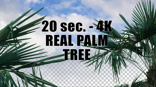 Real Palm Tree with Alpha Channel