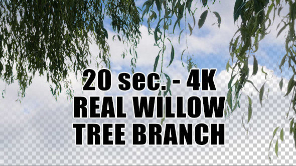 Real Willow Tree Branch with Alpha Channel