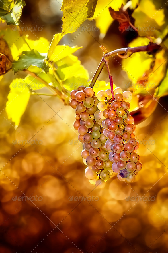 Grapes in vineyard - Stock Photo - Images