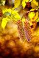 Grapes in vineyard - PhotoDune Item for Sale