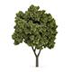 Sycamore Maple (Acer pseudoplatanus)