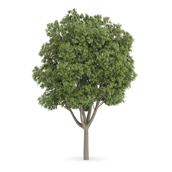 Common Ash (Fraxinus excelsior) - 3DOcean Item for Sale