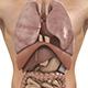Human Body (Male) - Digestive Respiratory Reproduc