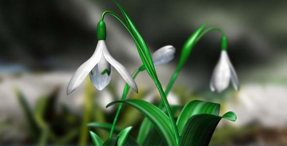 Snowdrops 3D Animated with Alpha 60 FPS