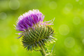 Thistle flower - PhotoDune Item for Sale