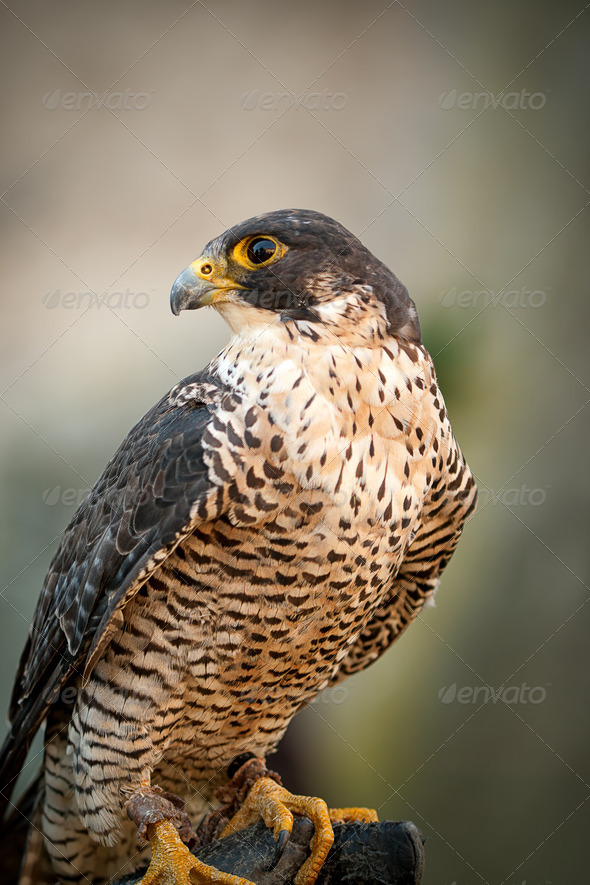 Peregrine Falcon Portrait  Peregrine Falcon Portrait - Stock Photo - Images