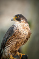 Peregrine Falcon Portrait 