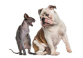 Sphynx hissing at an English Bulldog sitting in front of a white background