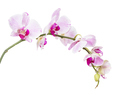 White and pink orchid flowers  isolated on white