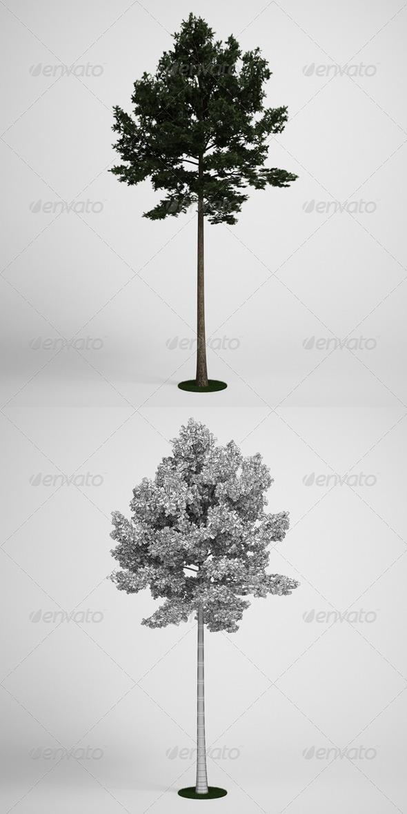 3DOcean CGAxis Scotch Pine Tree 19 168138