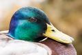 Portrait of a male wild duck