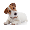 Small lovely doggie of breed a Jack Russell Terrier