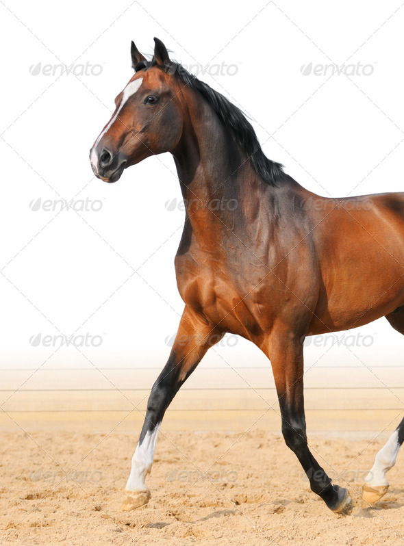 Bay Trakehner Stallion - Stock Photo - Images