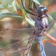 Dragonflies Mating 1