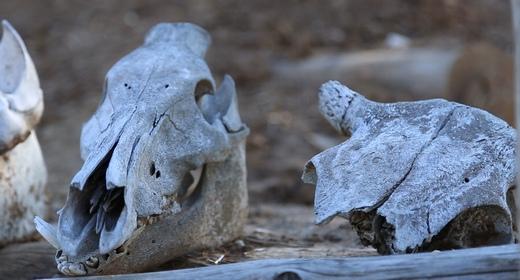 Skulls of Animals