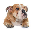 young english bulldog