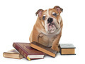 young english bulldog and books