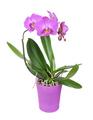 Purple orchid flower
