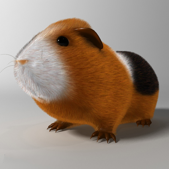 Guinea pig (Cavia porcellus) Rigged - 3DOcean Item for Sale