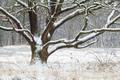 big oak tree in winter snow