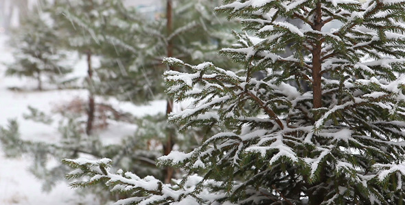 Winter Fir-Tree
