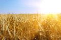 Gold wheat and sunny sky - PhotoDune Item for Sale