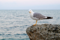 Seagull on evening sea background