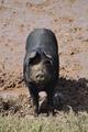 Black Pig - PhotoDune Item for Sale