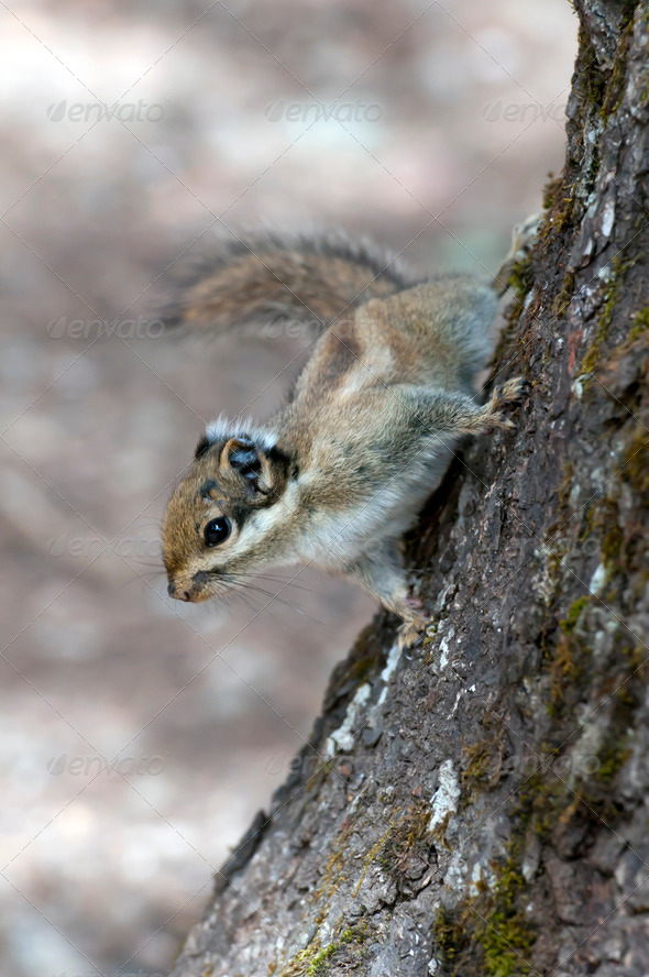 Squirrel  - Stock Photo - Images
