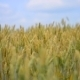 Wheat Swaying In The Wind