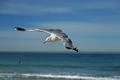 Seagull flying on the hermosa beach, California, USA