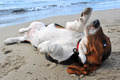 basset hound on a beach - PhotoDune Item for Sale